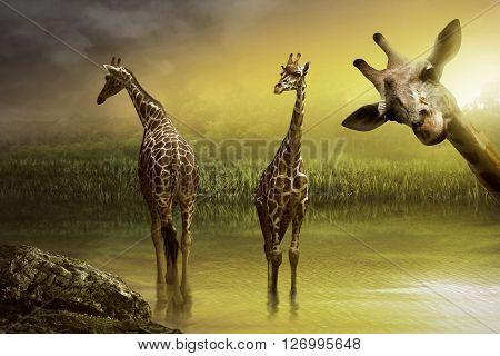 Image Of Giraffe Drinking