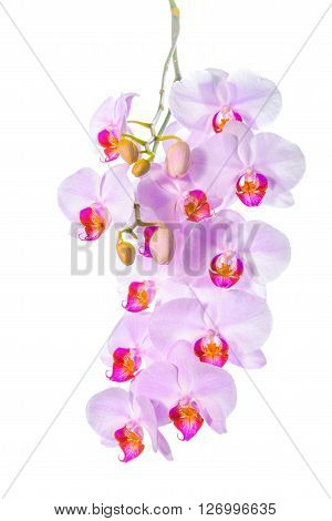 Blossoming Twig Of Beautiful Gentle Lilac Orchid, Phalaenopsis Is Isolated On White Background, Clos