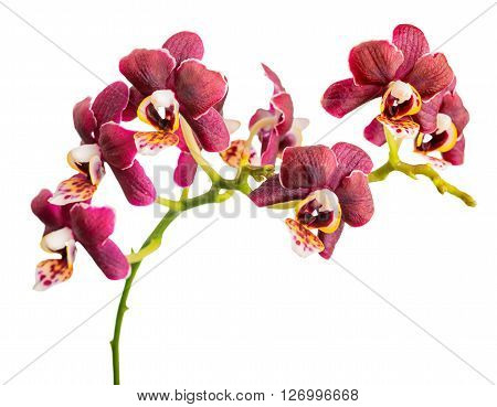 Blossoming Twig Of Beautiful Dark Purple With Yellow Spotty, Orchid, Phalaenopsis Is Isolated On Whi