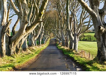 Landscape of the Dark Hedges in Ireland