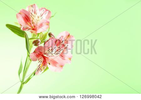 Beautiful Alstroemeria Flowers On A Green Background
