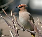 Waxwing On A Branch.