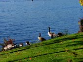 foto of honkers  - canadian geese feed on grassy alongside blue lake waters - JPG