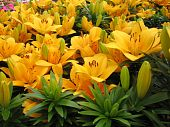 image of asiatic lily  - lilies for sale at a local nursery - JPG
