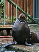 Curious Sea Lion.