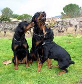 Rottweiler Family