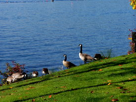 picture of honkers  - canadian geese feed on grassy alongside blue lake waters - JPG