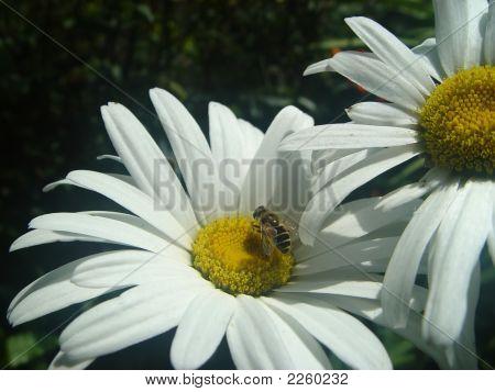 Hoverfly And Daisy
