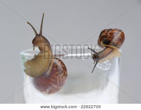 Two Snails On Glass