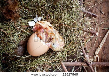 Yellow little chick hatching out of its egg