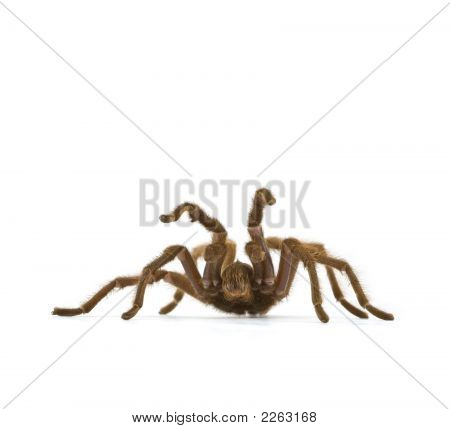 Tarantula, Genus Aphonopelma, In Defensive Posture