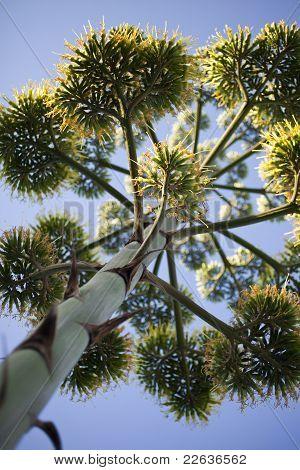 Agave Flower