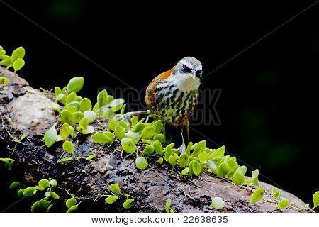 Lesser Scimitar Babbler