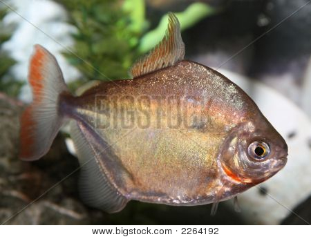 Silver Dollar Fish.