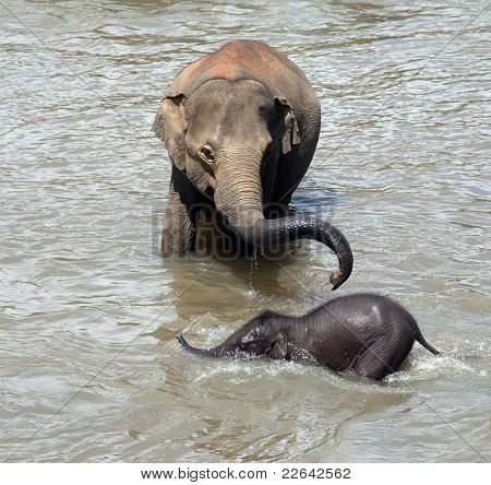 Mother elephant takes baby for a bath in the river. Pinnawela elephant orphanage, Sri Lanka