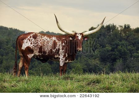 Longhorn Looking At You