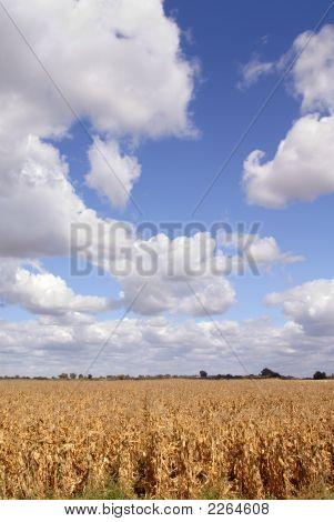 Corn And Skies