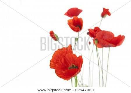 Poppies isolated on white background / focus on the foreground / floral border with copy space