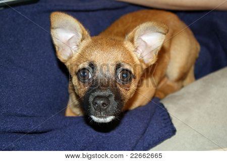 Pinchi Puppy 2