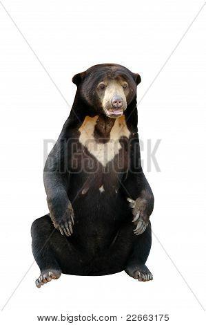 sun bear isolated