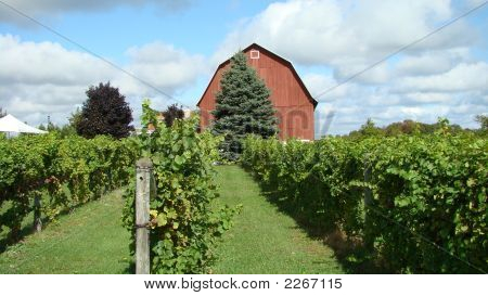 Vineyard With Red Barn
