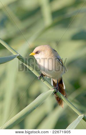 tit barbudo en la caña, inmadura - biarmicus (Panurus biarmicus)