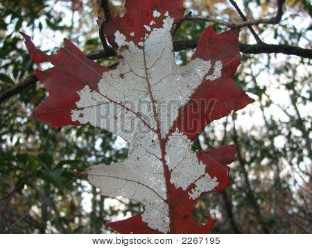 Transluscent Fall Leaf