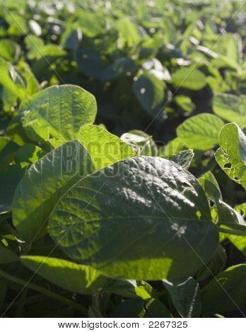 Soybeans Iv
