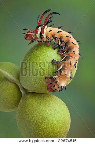Hickory Horned Devil On Walnuts
