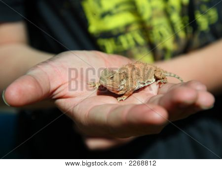 Horned Toad In Kids Hand