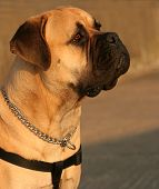 picture of bull-mastiff  - the profile of a bull mastiff - JPG