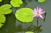 picture of hydrophytes  - A pink water lily in the lake - JPG