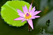 stock photo of hydrophytes  - A pink water lily in the lake - JPG