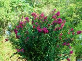 image of crepe myrtle  - crepe myrtle bush full of pink flowers in the summer - JPG