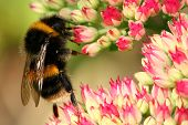 picture of bumble bee  - a bumble bee on a sedum flowerhead - JPG