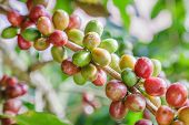 Green Coffee Beans Growing On The Branch. Raw Coffee Bean On Coffee Tree Plantation. Closeup Fresh R poster