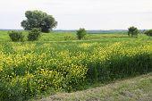 Field Of Rape Near The Road. A Tree Near The Road. Rapeseed Field. Yellow Rape Flowers, Field Landsc poster