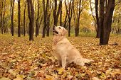 Golden Retriever Sitting And Looking Up In Autumn poster