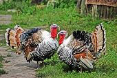picture of turkey-cock  - Two male turkey on green village courtyard - JPG