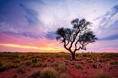 A Hakea Tree Stands Alone In The Australian Outback During Sunset. Pilbara Region, Western Australia poster