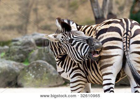 A zebra bites
