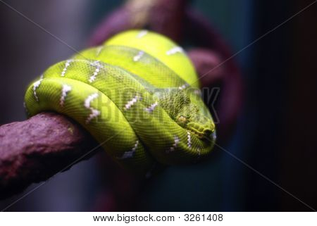 Green Tropical Snake Coiled On A Branch