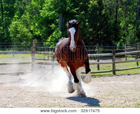 Playful Clydesdale