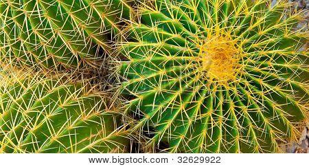 Barrel Cactus With Needles