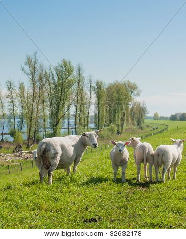 Sheep And Her Lambs On A Dutch Dike