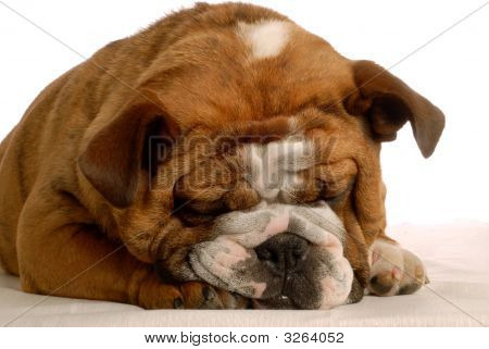 Red Brindle English Bulldog