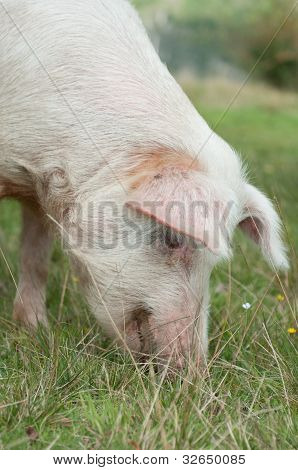 Head Closeup On Pig Eating