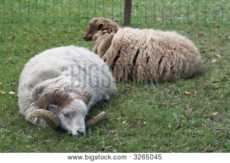 The Wether And Sheep