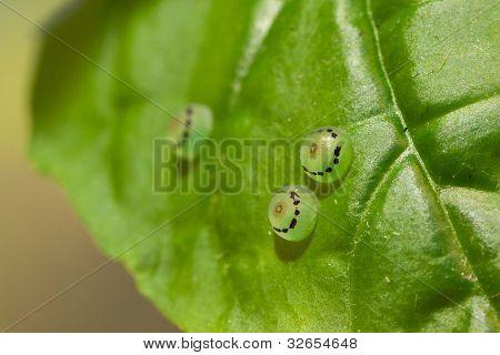 Ornithoptera priamus butterfly eggs