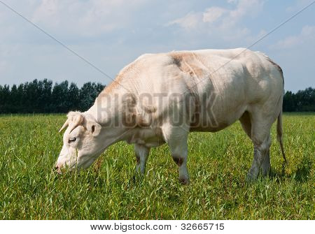 Grazing White Cow
